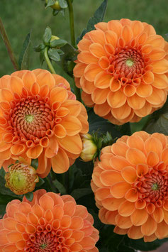 Ruskin Tangerine