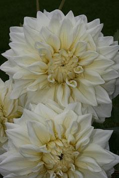 White Alvas