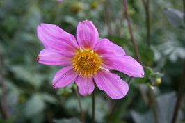 Dahlia sörensenii (rosea)