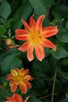 Wildform Orange