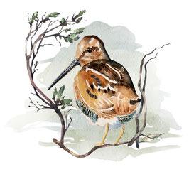 Oiseau, la Bécasse