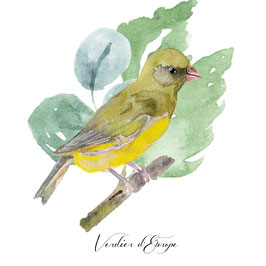 Oiseau Verdier