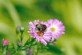 Biene auf einer Blume   / 1458