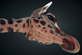 Giraffe  /  1078