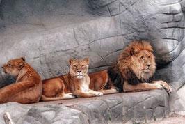 Löwen   / 458