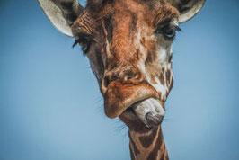 Giraffe /  128