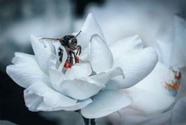 Weiße Rose  /  1228