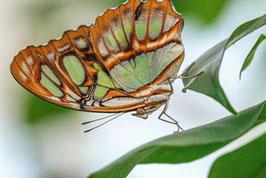 Schmetterling   /  1257