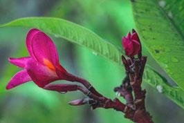 Tropische Blüte   /  130