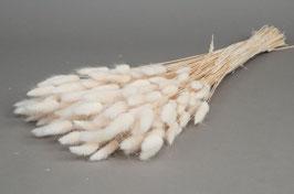 """Lagurus """"Petites queues de lièvre"""" Blancs"""