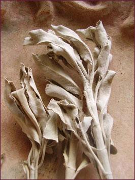 White Sage/ Weißer Salbei