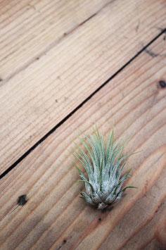 Spitzblättrige Luftpflanze