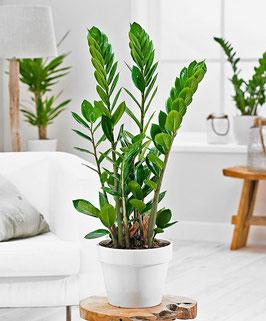 Zamioculcas - pianta grassa da interno