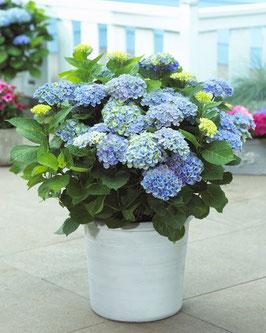 Ortensia - pianta da esterno