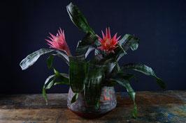 Guzmania - indoor plant