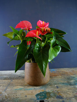 Anthurium - pianta da interno