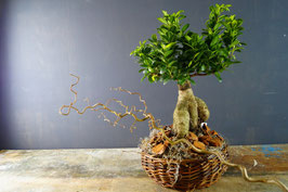 Ficus Ginseng (Retusa) - indoor plant
