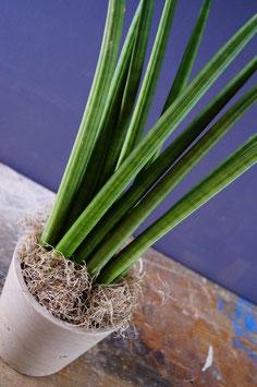 Sansevieria cilindrica - indoor succulent plant