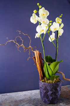 Phalaenopsis orchid -  indoor plant