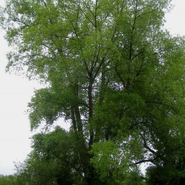Black Poplar Trees