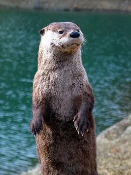 2. ) Otter 20. Januar - 18. Februar