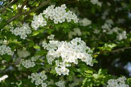 Weissdornblüten gerebelt