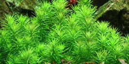 Pogostemon erectus / Indische Sternpflanze