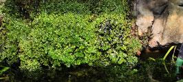 Lebermoos - Monosolenium tenerum