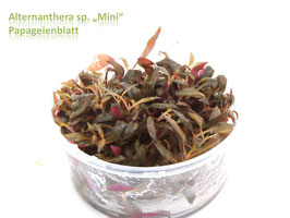 Alternanthera reineckii 'Mini' / Kleines Papageienblatt