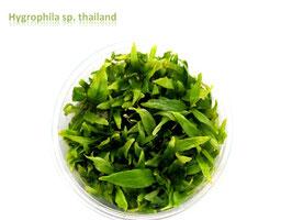 Hygrophila sp. Thailand / Thailändischer Wasserfreund