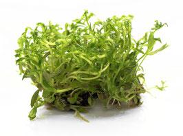 Limnophila aromatica Aromatischer Sumpffreund XL Pot