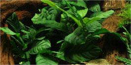 Tropica Anubias bateri 'Coffefolia' / Kaffeeblättriges Speerblatt