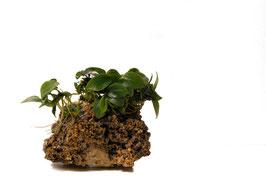 Anubias mini mini auf Stein