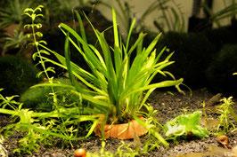 Grasartige Zwergschwertpflanze