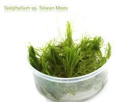 Taxiphyllum sp. Taiwan