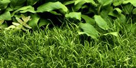 Tropica Lilaeopsis brasiliensis / Brasilianische Graspflanze