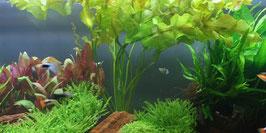 Aponogeton ulvaceus / Meersalatähnliche Wasserähre