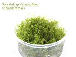 Vesicularia sp. Creeping / Creepingmoos