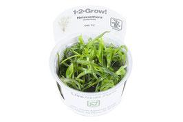 Heteranthera zosterifolia / Seegrasblättriges Trugkölbchen
