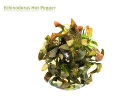 Echinodorus Hot Pepper