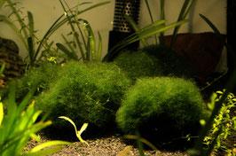 Cladophora aegagrophila  Moosball