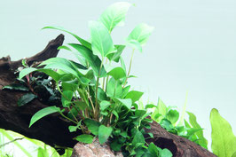 Tropica Anubias gracilis / Efeublättriges Speerblatt