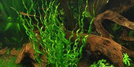 Helanthium Vesuvius / Korkenzieher Schwertpflanze