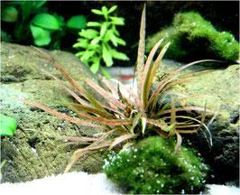 Cryptocoryne albida 'Brown' / Weisslicher Wasserkelch