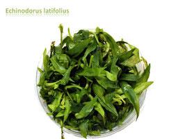 Echinodorus latifolius / Grasartige Zwergschwertpflanze
