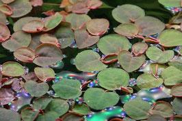 Phyllanthus fluitans / schwimmende Wolfsmilch in Vitro