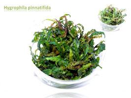 Hygrophila pinnatifida / Fiederspaltiger Wasserfreund