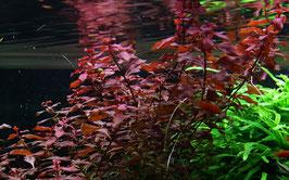 Tropica Ludwigia palustris / Sumpf Heusenkraut