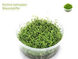 Elatine hydropiper / Wasserpfeffer