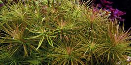 Tropica Pogostemon stellata / Sternpflanze